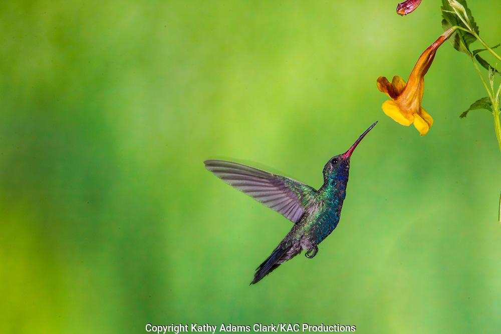 Broad-billed Hummingbird; Cynanthus latirostris; feeding on tecoma, trumpet flower, Sonoran Desert; Southern; Summer; Arizona;