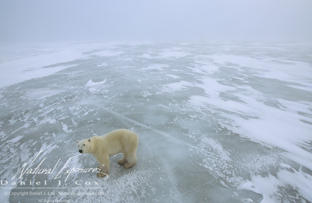 Polar Bear (Ursus maritimus) orphaned cub wanders the shores of Hudson Bay at Cape Churchill. Canada