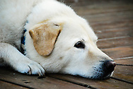 Close up of a lab mix rests on a wooden plank dock.