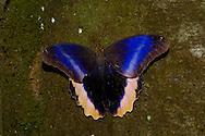 The Caligo (Owl) Butterfly, Caligo atreus, opens its wings to reveal its beautiful colors;Costa Rica