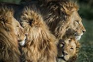 Lion Brothers<br />      Ngorongoro Crater, Tanzania