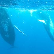 Humpback Whale (Megaptera novaeangliae). Two adults performing a mating dance ritual. Caribbean Ocean.