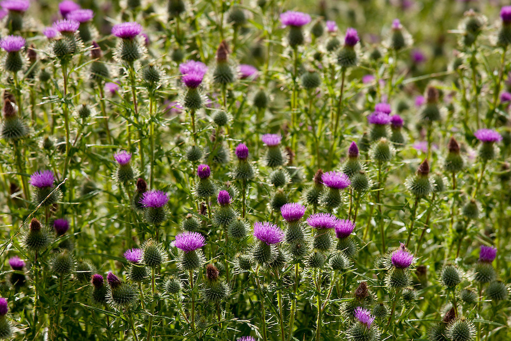 Scottish Thistle, Onopordum Acanthium, wildflower in the Lake District National Park, Cumbria, UK