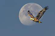 Composite of a Bald Eagle  in flight with the moon in the background