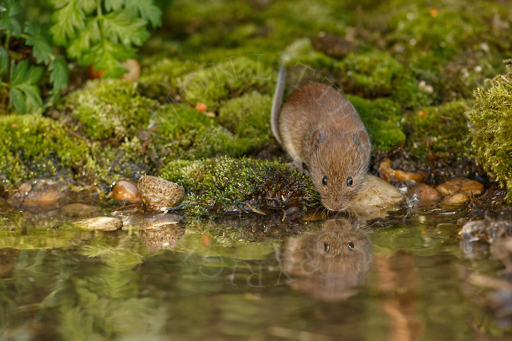 Bank Vole (Clethrionomys glareolus) adult drinking from small pond, South Norfolk, UK. September.