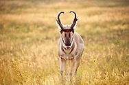 Antelope_2015_Heidi Watson
