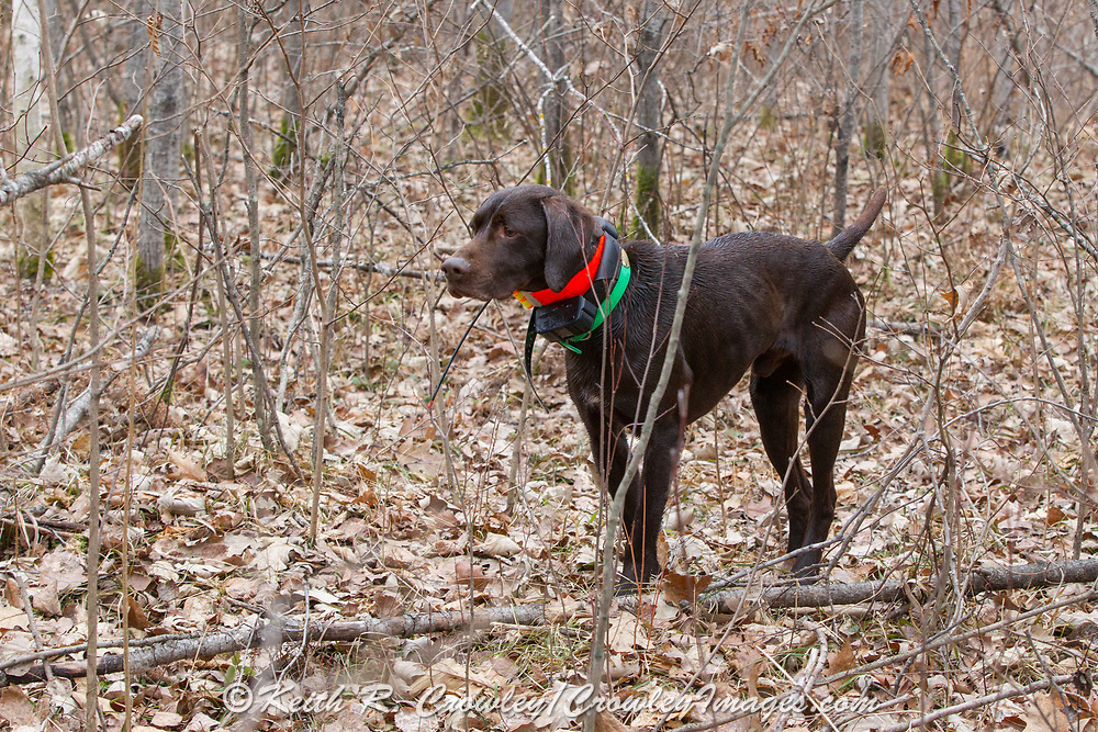 John Zeman's German Shorthair, Frank, on point while hunting pheasants on a Minnesota public hunting area.