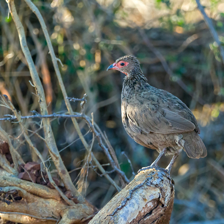 Swainson's spurfowl in Kruger NP, South Africa.