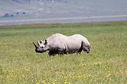 Tanzania, Rhinoceros, side view,