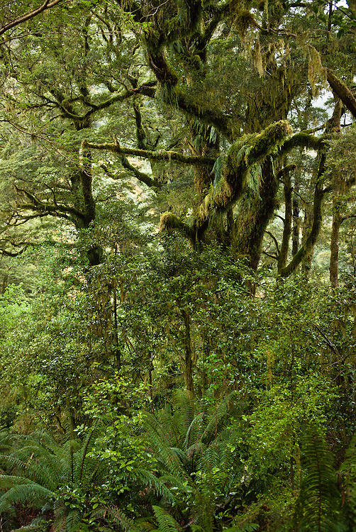 Tall trees, covered in moss and epiphytic ferns, drape branches over young kamahi, shrubs and lush undergrowth near the Milford Track, ew Zealand