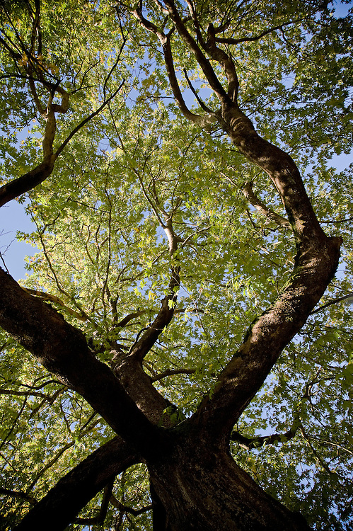 Greece, Pindos Mountains, Pindos NP, Vallia Calda, Platan trees in Metsovo town, Platanus orientalis