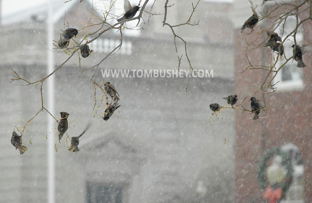 Middletown, New York - European starlings (sturnus vulgaris) feed in a tree during a snowstorm on Dec. 26, 2010.
