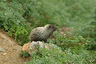 The hoary marmot (Marmota caligata) is a species of marmot that inhabits the mountains of northwest North America. Hoary marmots live near the tree line on slopes with grasses and forbs to eat and rocky areas for cover.