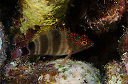 Redspotted Hawkfish (Amblycirrhitus pinos)<br /> BONAIRE, Netherlands Antilles, Caribbean<br /> HABITAT & DISTRIBUTION: Perch on bottom of Coral Reefs.<br /> Florida, Bahamas, Caribbean, Gulf of Mexico, Bermuda & south to Brazil.