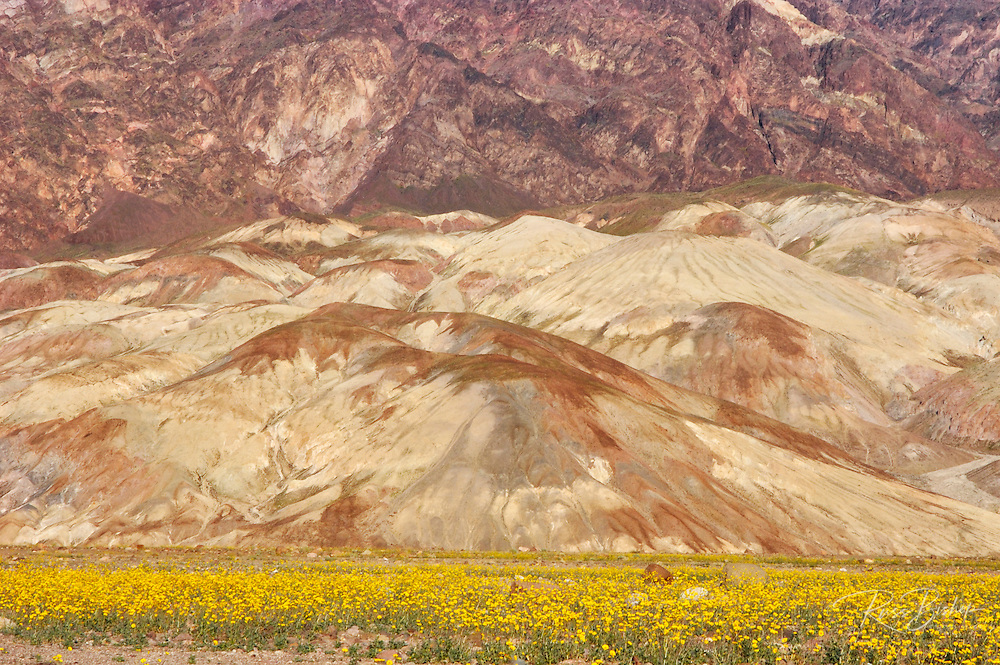 Desert Gold (Geraea canescens) under the mineral rich foothills of the Amargosa Range, Death Valley National Park, California