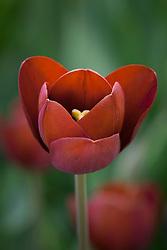 Tulipa 'General Ney'. (Breeder tulip)