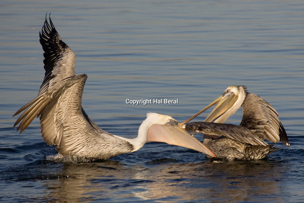 Brown Pelican fighting and trying to bite the other.(Pelecanus occidentalis).Bolsa Chica Wetlands, California