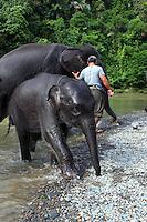 Sumatran elephants bathing in the river at Tangkahan on the edge of Gunung Leuser National Park.