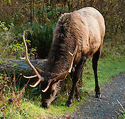Roosevelt elk bulls carry impressive antlers and browse in Hoh Rain Forest on Washington's wet Olympic Peninsula (and in other rain forests of the Pacific Northwest). The Roosevelt elk (or Olympic elk, Cervus canadensis roosevelti) is the largest of the four surviving subspecies of elk in North America. Elk protection motivated creation of Mount Olympus National Monument in 1909, which later became Olympic National Park.