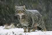Scottish wildcat (Felis sylvestris) in heavy snowfall, Cairngorms National Park, Scotland