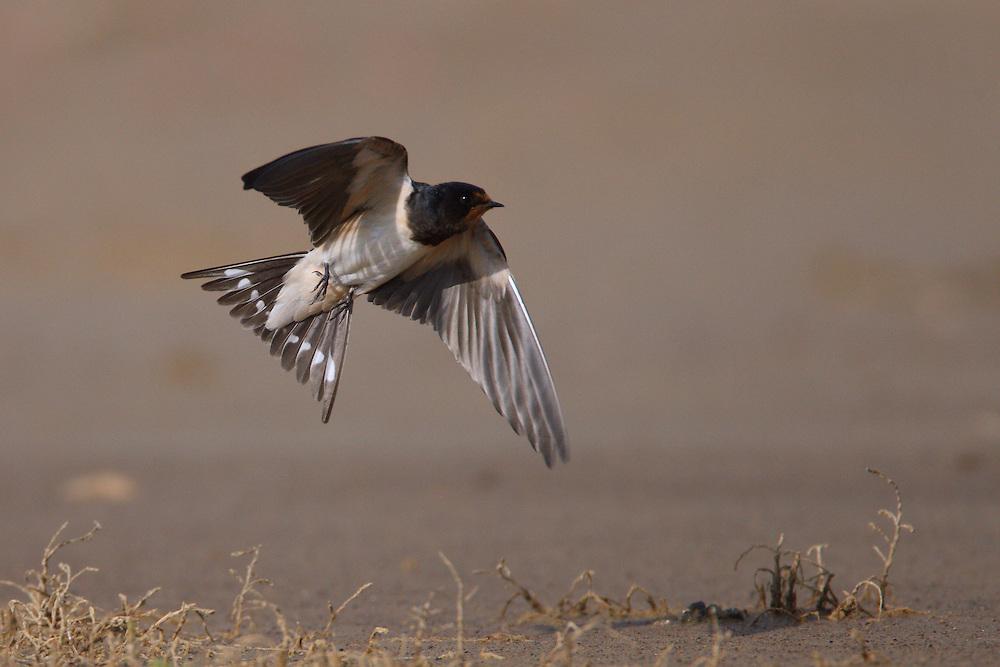 Barn Swallows in flight, Bagerova Steppe, Kerch Peninsula, Crimea, Ukraine