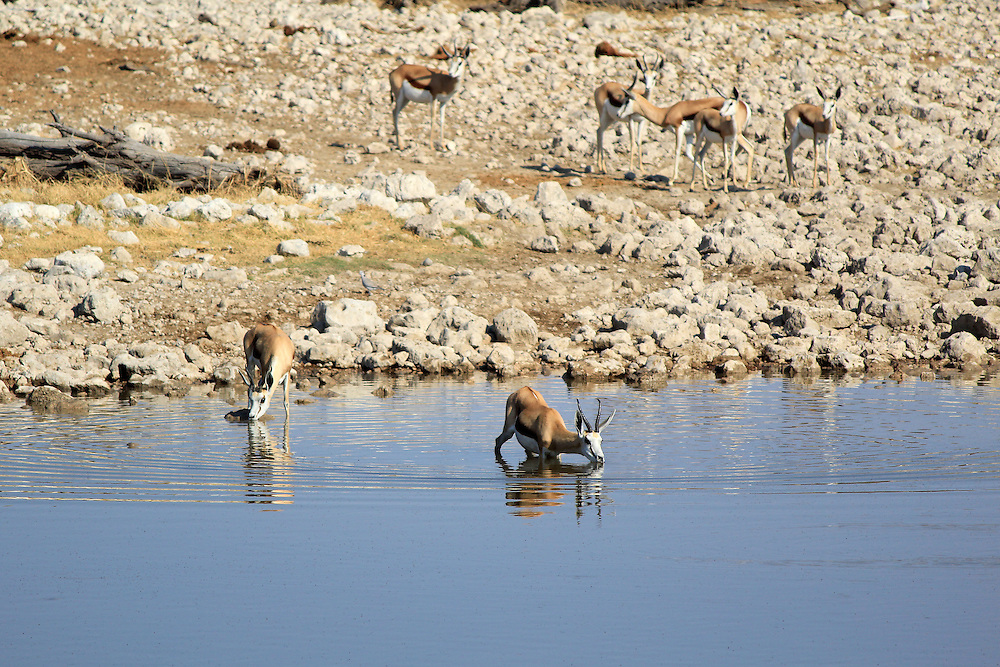 Springbok (Antidorcas Marsupialis), Etosha National Park, Namibia, Southern Africa
