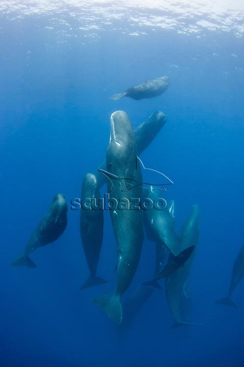 Pod of Sperm Whales, Physeter macrocephalus, Dominica, Caribbean, Caribbean Sea,
