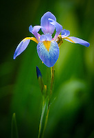 a blue flag iris found in the swamps of North Carolina