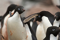 A group of Adelie Penguins (Pygoscelis adeliae).