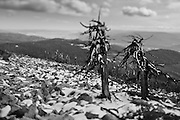 Black and White Tilt-Shift Photograph of dead pines on Ch-paa-qn Peak (Squaw Peak) with Missoula Valley in background (2011)
