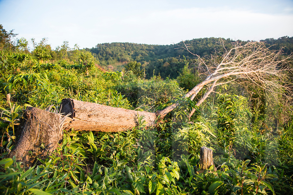Sawn-off tree in a deforested area of Loc Bac, Vietnam, Southeast Asia