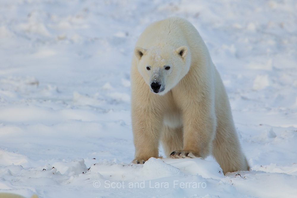 This polar bear is approaching another bear (see head top in lower left) thinking about stealing the nest she just dug.  When the nesting bear stood up the approaching bear realized she was bigger and quickly continued on its way.