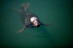 UK CORNWALL NEWLYN 10JUN08 - Seal scavenges for dead fish at Newlyn harbour in Cornwall, western England...jre/Photo by Jiri Rezac / WWF UK..© Jiri Rezac 2008..Contact: +44 (0) 7050 110 417.Mobile:  +44 (0) 7801 337 683.Office:  +44 (0) 20 8968 9635..Email:   jiri@jirirezac.com.Web:    www.jirirezac.com..© All images Jiri Rezac 2008 - All rights reserved.