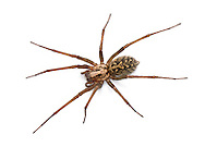 Tegenaria gigantea. One of the large Tegenaria house spiders. Also found outdoor in dark, dry places. It is the commoner of the big house spiders in South-East Engand.
