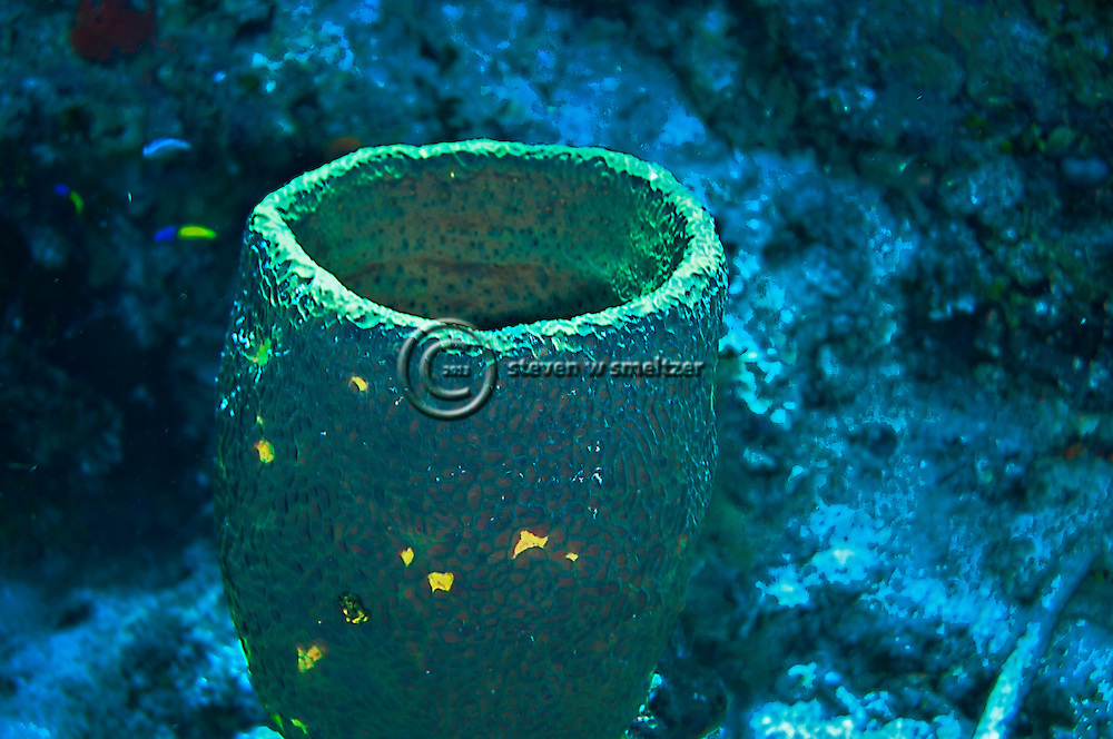 Green Barrel Sponge, Verongula gigantea, Grand Cayman