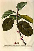 Coloured Copperplate engraving of a ficus branch from hortus nitidissimus by Christoph Jakob Trew (Nuremberg 1750-1792)
