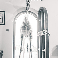 An endangered Rothschild's Giraffe sticks its head and neck through the front door of Giraffe Manor
