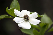 A Pacific Dogwood (Cornus nuttallii) tree flowering in a forest in Langley, British Columbia, Canada.  The Pacific Dogwood is British Columbia's official flower and is featured on the BC provincial coat of arms.