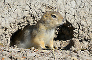 Richardson's Ground Squirrel - Urocitellus richardsonii