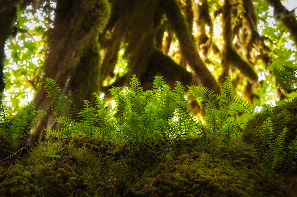 Licorice ferns growing high up in a huge bigleaf maple in an ancient old-growth section of the Hoh Rain Forest on Washington's Olympic Peninsula. Found primarily in the Pacific Northwest, the roots of these evergreen ferns have been used medicinally for millennia by local native tribes, and can be found from Southern Alaska to parts of Arizona.