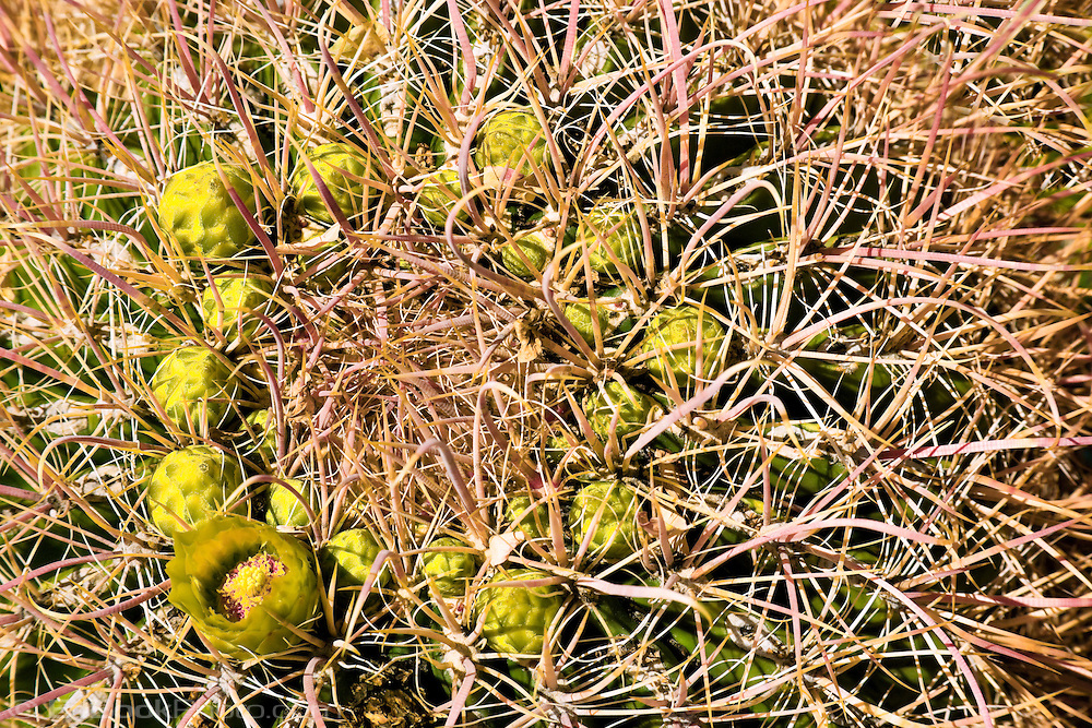 Barrel Cactus flowers (Ferocactus) in the Anza Borrego Desert, California