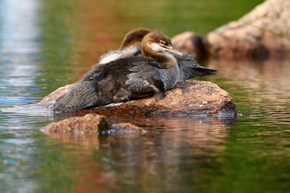 Common Merganser (Mergus Merganser) ducklings on rock, Jordan Pond, Acadia National Park, Maine Common Merganser on Jordan Pond, Acadia National Park, Maine