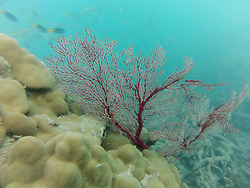 A gorgonian fan underwater at Macleay Island in the Buccaneer Archipelago.