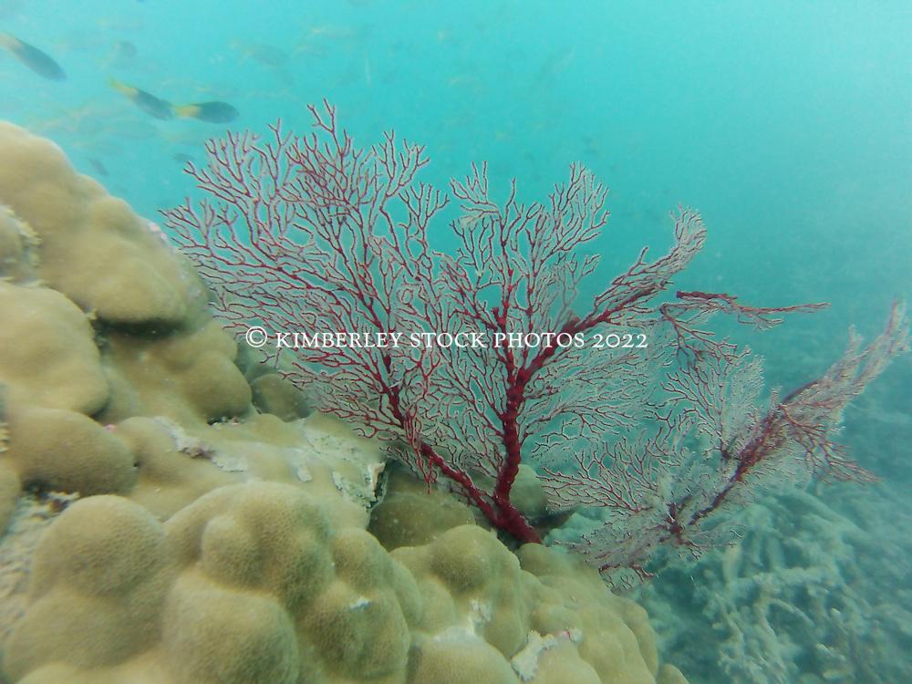 A gorgonian fan underwater at Macleay Island in the Buccaneer Archipelago.