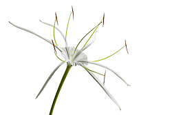 Hymenocallis-Beach Spider Lily#4