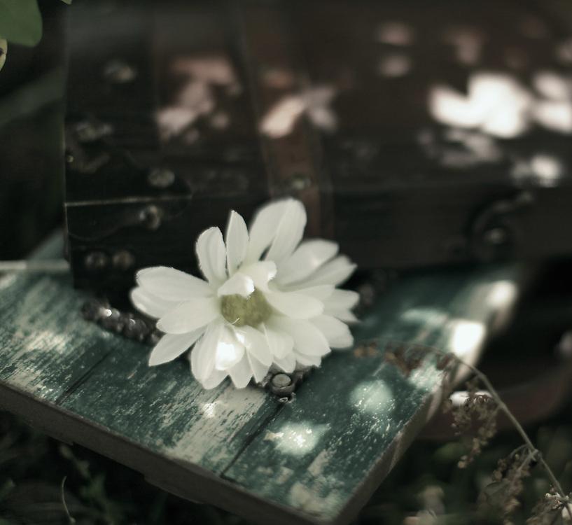 Rustic Vintage Daisy   Vintage Daisy Photography