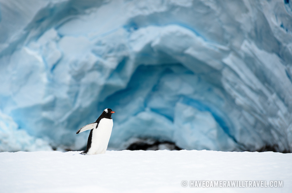A solitary Gentoo penguin walks on the ice in front of the rich blue ice of a glacier on Cuverville Island.