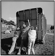 Tiertransporter: 3 men closing a van with cattle inside