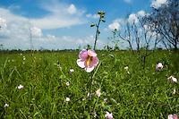 Swamp mallows are a very common member of the hibiscus family in the Everglades, as seen here in the Fakahatchee Strand.