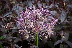 Allium cristophii AGM - Star of Persia - in front of Lysimachia ciliata 'Firecracker